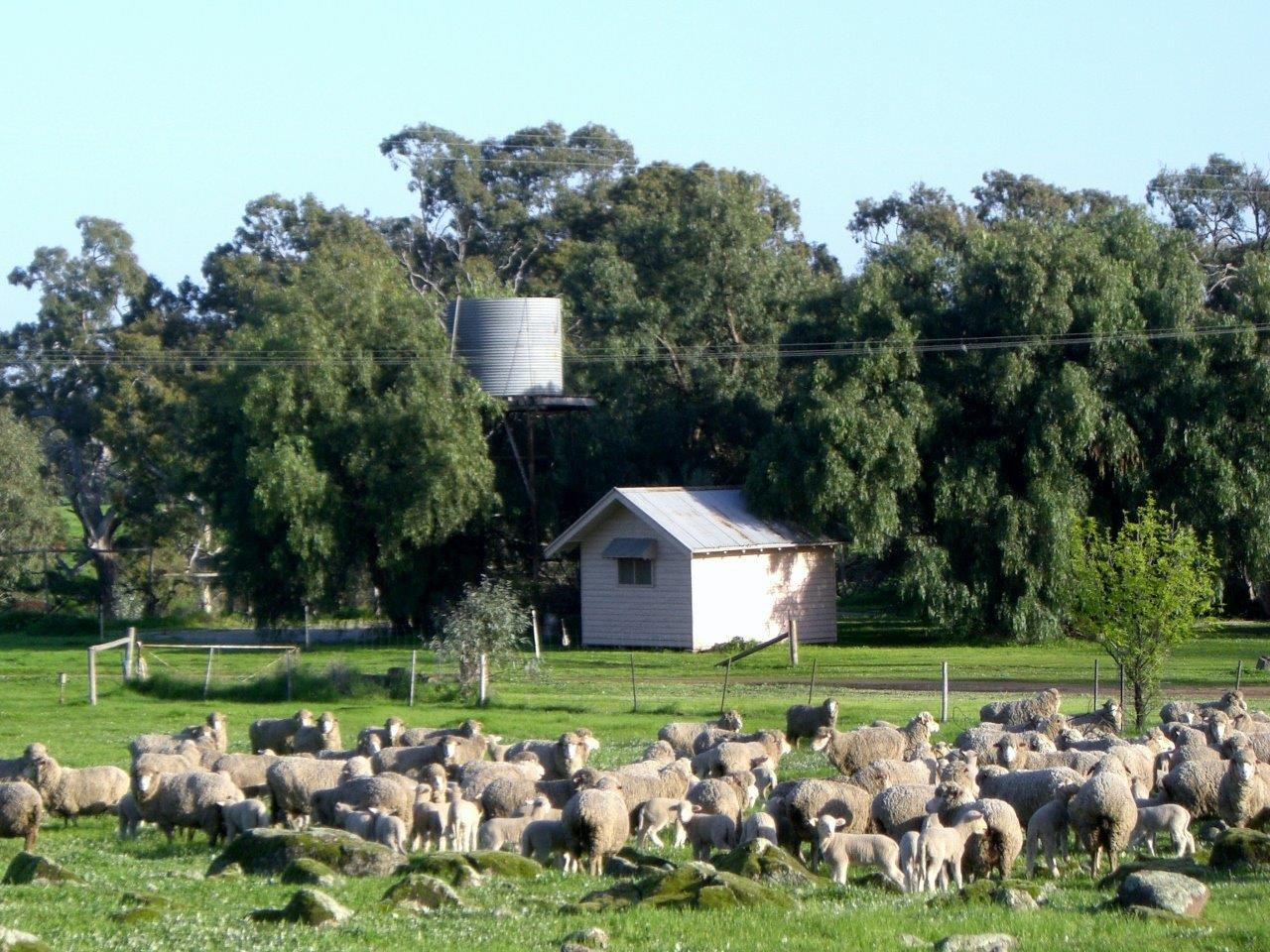 lochinver farm sheep
