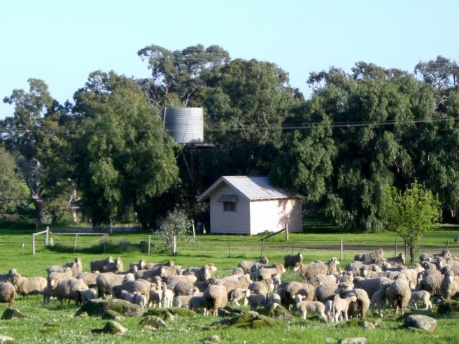 lochinver farm sheep